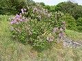 Korina 2010-05-02 Syringa vulgaris.jpg