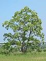 Korina 2011-05-20 Robinia pseudoacacia 2.jpg