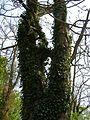 Kornik Arboretum buk bluszcz 1.jpg