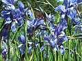 Kosaciec syberyjski Iris sibirica kwiaty.jpg