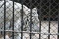 Kunming City Zoo White Tiger (9964732316).jpg