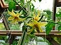Kwiat pomidora.Solanum lycopersicum. 02.jpg