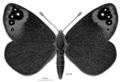 LEPI Nymphalidae Percnodaimon merula.png