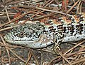 LIZARD, CALIFORNIA SOUTHERN ALLIGATOR (Elgaria multicarinata m.) (6-23-12) canet rd, slo co, ca -01a (7454240170).jpg