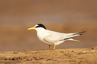 LIttle tern David Raju (cropped).jpg
