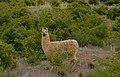 La Llama.jpg