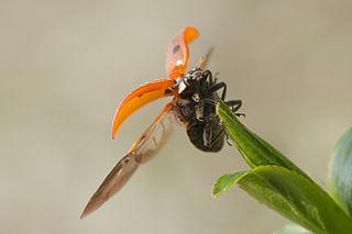 Lienka sedembodková (Coccinella septempunctata) vzlieta