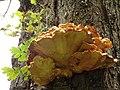 Laetiporus sulphureus (38328416692).jpg