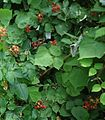 Lake Hopatcong State Park NJ raspberry bush.jpg