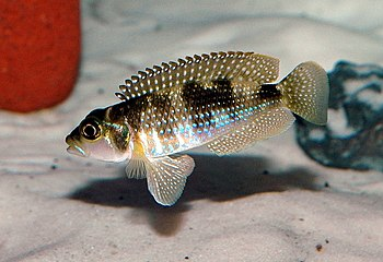 A shell-brooding cichlid of the genus Lamprolo...