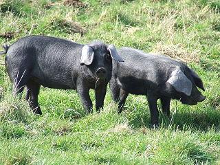 Large Black pig