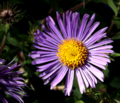 Large Blue Aster (9705799890).png