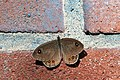 Large Wall Brown (19635488021).jpg