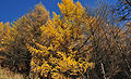 Larix gmelinii Aershan 2.jpg