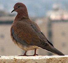 Laughing Dove 2005.12.23 m051.jpg