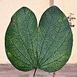 Leaf I MG 2069.jpg