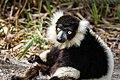 Lemur (26618420837).jpg
