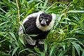 Lemur (36499879493).jpg