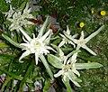 Leontopodium alpinum 4.jpg