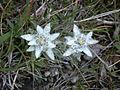 Leontopodium alpinum Saastal.jpg