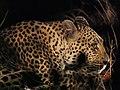 Leopard (43841719125).jpg
