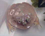 Budgett's Frog