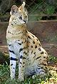 Leptailurus serval-1.jpg