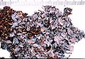 Leptogium cyanescens-4.jpg