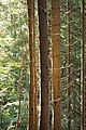 Les Houches - tree trunks.jpg