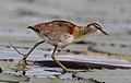 Lesser Jacana, Microparra capensis, Chobe River, Botswana.jpg