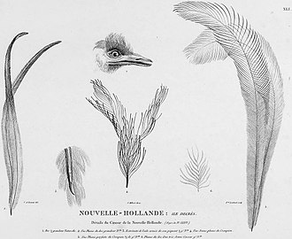 King Island emu - Charles Alexandre Lesueur's 1807 plate of the head, wing and feathers of a specimen possibly belonging to this subspecies