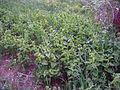 Leutratal-Aristolochia-clematitis-2460.jpg