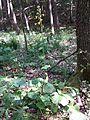 Ligularia sibirica sl8.jpg