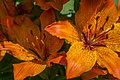 Lilium Bulbiferum.jpg