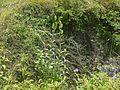 Lilium polyphyllum (7821640264).jpg