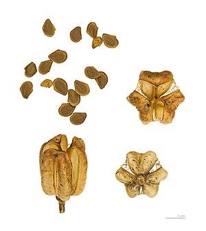 Lilium pyrenaicum - Capsules and seeds