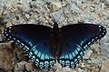 Limenitis arthemis astyanax on gravel (cropped).jpg