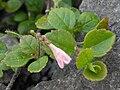 Linnaea borealis ssp americana 1.JPG