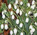 Linton snowdrops - geograph.org.uk - 1700199.jpg