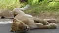 Lioness (Panthera leo) (6025706148).jpg
