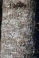 Liquidambar styraciflua Rotundiloba 1zz.jpg