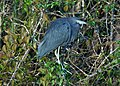Little Blue Heron (16415713900).jpg