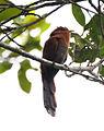 Little Cuckoo (5306039683) (cropped).jpg