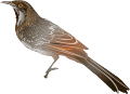 Little Wattlebird (Anthochaera chrysoptera) colour.png