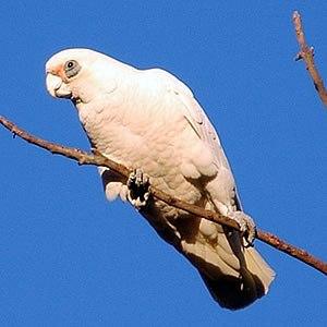 Corella (bird) - Little corella