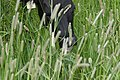 Livestock088 (38159634214).jpg