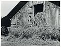 Loading hay into barn on tobacco farm of A. B. Douglas, Blai... (3110578410).jpg