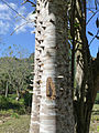 Lomas de Banao-Ceiba pentandra.jpg