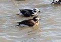 Long-tailed Duck (Clangula hyemalis) (11947762184).jpg