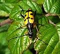 Longhorn beetle.Cerambycidae. Strangalia maculata. - Flickr - gailhampshire (1).jpg